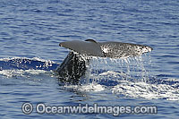 Sperm Whale tail fluke photo
