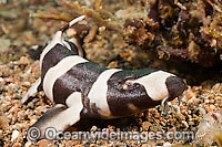 Brown-banded Bamboo Shark Chiloscyllium punctatum Photo - David Fleetham
