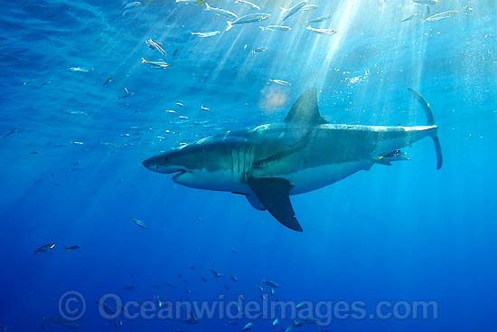 Great White Shark (Carcharodon carcharias). Also known as Great White, White Pointer, White Shark & White Death. Found in all major oceans of the world, but mostly temperate waters. Listed as Vulnerable Species on the IUCN Red List. Photo - David Fleetham