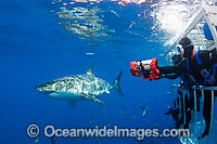 Divers in Great White Shark cage Photo - David Fleetham