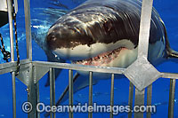 Great White Shark near cage Photo - David Fleetham
