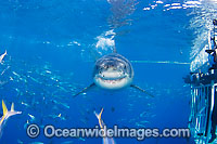 Great White Shark underwater Photo - David Fleetham