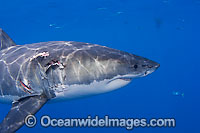 Great White Shark with bite wound Photo - David Fleetham