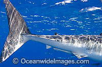 Great White Shark caudal keel & fin Photo - David Fleetham