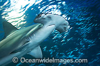 Scalloped Hammerhead Sharks Photo - David Fleetham