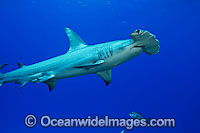 Great Hammerhead Shark Photo - David Fleetham