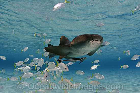 Nurse Shark with remora and Jacks photo