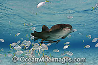Nurse Shark with remora and Jacks Photo - David Fleetham
