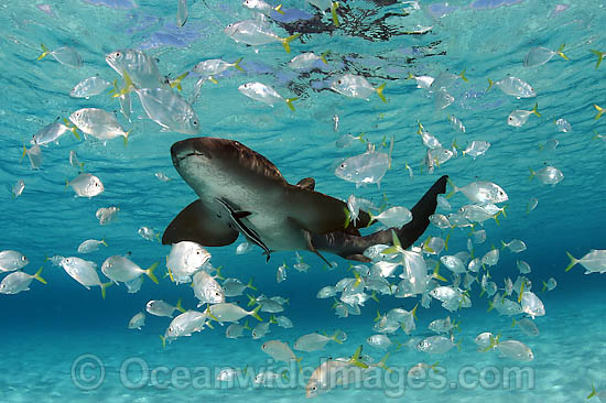 Nurse Shark (Ginglymostoma cirratum) with a school of juvenile Jacks and Remora. Photo taken in Bahamas, Caribbean Sea, USA