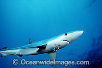 Blue Shark with fishing hook Photo - David Fleetham