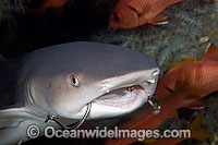 Whitetip Reef Shark with fishing hooks Photo - David Fleetham