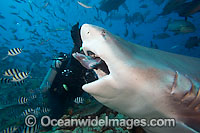 Scuba Diver and Bull Shark photo