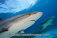 Caribbean Reef Shark with Lemon Shark Photo - David Fleetham