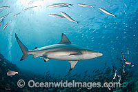 Galapagos Shark amongst schooling fish photo