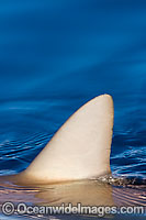 Gray Reef Shark dorsal fin photo