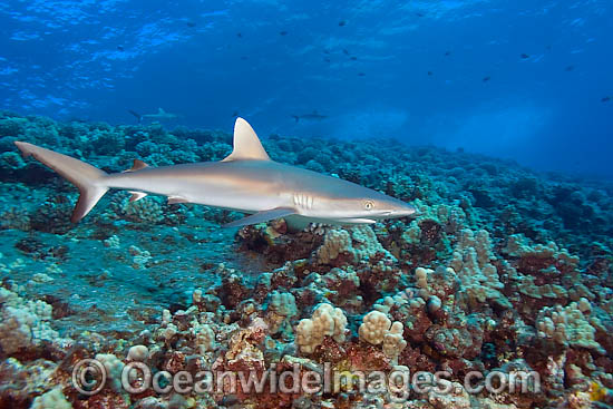 Gray Reef Shark (Carcharhinus amblyrhynchos). Also known as Grey Reef Shark, Black-vee Whaler and Longnose Blacktail Shark. Found throughout the tropical Indo-West and Central Pacific. Photo - David Fleetham