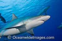Gray Reef Shark silhouetted photo