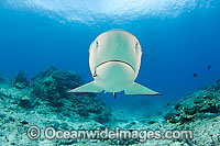Grey Reef Shark with fishing hook image