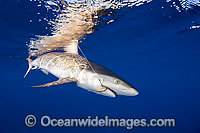 Gray Reef Shark with fishing hooks Photo - David Fleetham