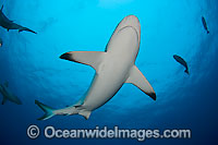 Gray Reef Shark photo