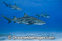 Lemon Shark Bahamas