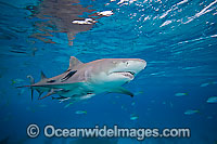 Lemon Shark Negaprion brevirostris Photo - David Fleetham