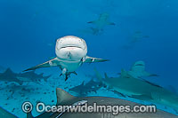 Lemon Shark Photo - David Fleetham