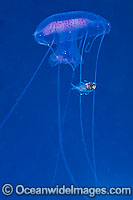 Jellyfish Chrysaora sp. & fish sheltering