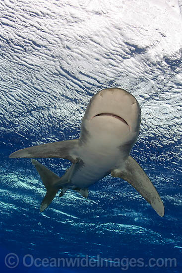 Oceanic Whitetip Shark (Carcharhinus longimanus). This pelagic shark is an aggressive species and is found worldwide in tropical and temperate seas. Photo - David Fleetham