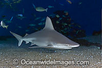 Sandbar Shark Carcharhinus plumbeus Photo - David Fleetham