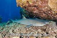 Whitetip Reef Sharks resting under ledge image