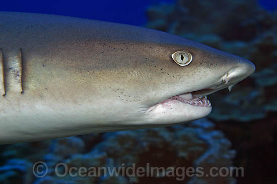 Whitetip Reef Shark showing mouth