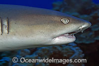 Whitetip Reef Shark showing mouth Photo - David Fleetham