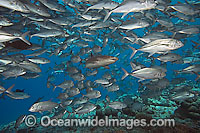 Whitetip Reef Shark & schooling Jacks image