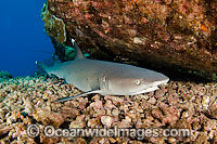 Whitetip Reef Shark resting under ledge Photo - David Fleetham
