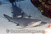 Whitetip Reef Sharks Triaenodon obesus Photo - David Fleetham