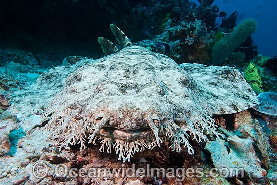 Tasselled Wobbegong (Eucrossorinus dasypogon). Also known as Carpet Shark. Found throughout the western Pacific Ocean, including Indonesia, Papua New Guinea and tropical northern Australia. Photo - David Fleetham