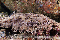 Wobbegong Shark Stock Photos Pictures