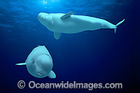 Beluga Whales underwater Photo - David Fleetham