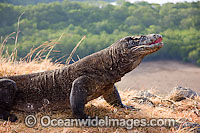 Komodo Dragon Rinca Island photo
