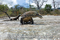 Komodo Dragon Rinca Island Photo - David Fleetham