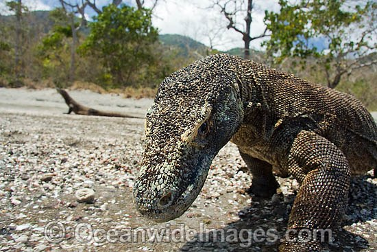 Komodo Dragon (Varanus komodoensis). World's largest lizard found on Komodo, Rinca, Flores, and Gili Motang Islands, Indonesia. Photo taken on Rinca Island. Listed as Vulnerable species on the IUCN Red List. Within the Coral Triangle. Photo - David Fleetham