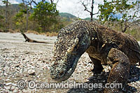Komodo Dragon Varanus komodoensis Photo - David Fleetham