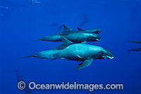 False Killer Whale Pseudorca crassidens Photo - David Fleetham