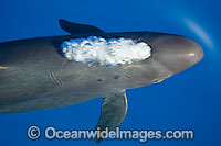 False Killer Whale blowing air Photo - David Fleetham