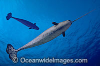 Narwhal Monodon monoceros photo