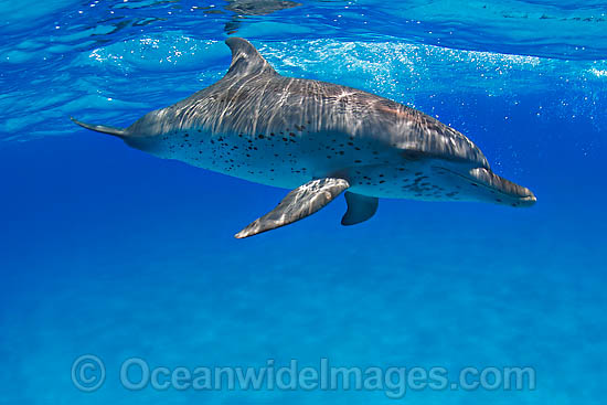 Atlantic Spotted Dolphin (Stenella frontalis). Found throughout the Gulf Stream of the North Atlantic Ocean. Photo taken in Bahamas, Caribbean Sea, Atlantic Ocean