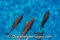 Atlantic Spotted Dolphins Photo - David Fleetham