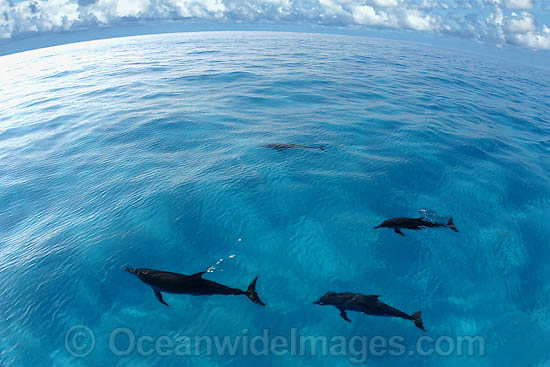 Atlantic Spotted Dolphins Stenella frontalis photo