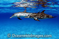 Atlantic Spotted Dolphins Stenella frontalis Photo - David Fleetham